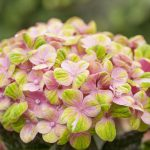 Hydrangea Macr Magical Coral Pink