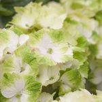 Hydrangea Macr Magical Noblesse