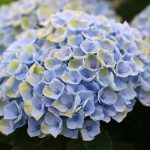 Hydrangea Macr Magical Revolution Blue